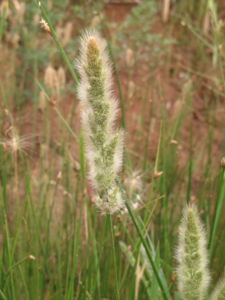 Annual Rabbitsfoot Grass