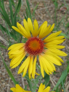 Wildflowers of the southern rocky mountains yellow single flowers a flower a flower mightylinksfo Choice Image