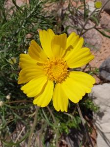 Wildflowers of the southern rocky mountains yellow single flowers dandelion like8 multiple spp mightylinksfo